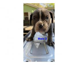 2 American Bully puppies for sale