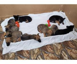 7 German Shepherd puppies looking for a new home