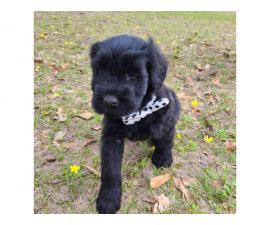 3 black male giant schnauzer puppies