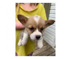 Full AKC Pembroke Wels Corgi puppies