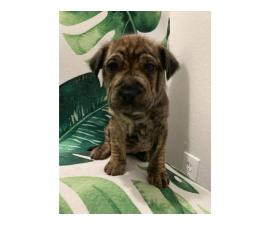 8 Shar-pei puppies for sale