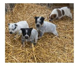 4 Blue Heeler Puppies Available