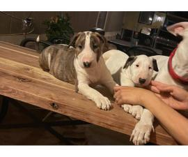 Purebred Bull Terrier Puppies for Sale