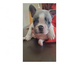 4 AKC French Bulldog Puppies