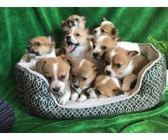 9 Corgi puppies for sale