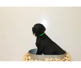5 AKC English Lab Puppies for Sale