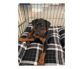 Doberman pinscher female puppy