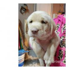 3 AKC Lab Puppies available