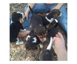 6 Tricolored Beagle puppies for sale