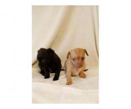 4 Teacup Chihuahua puppies for sale