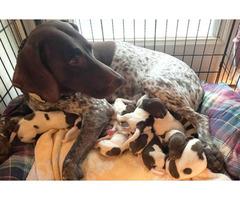 9 AKC German Shorthaired Pointer Puppies