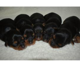 AKC Yorkie Puppies for Sale