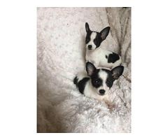 2 Chihuahua puppies needing new home