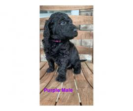 5 F1b Goldendoodle Puppies for Sale