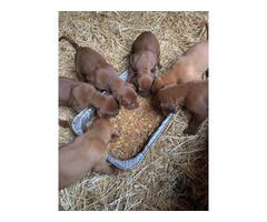 Red Bone Coonhound Puppies