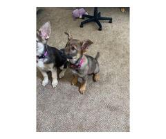 2 German Shepherd Puppies for sale