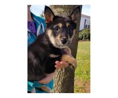 5 month old AKC Shiba Inu puppy