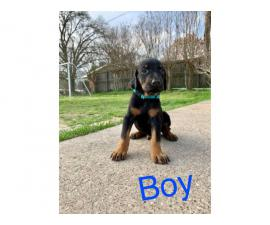 American doberman puppies