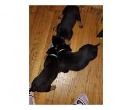 Purebred Rottweilers for Sale