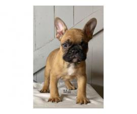 2 AKC French bulldog puppies left
