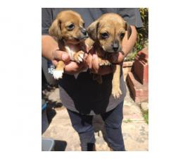5 Chiweenie Puppies Available