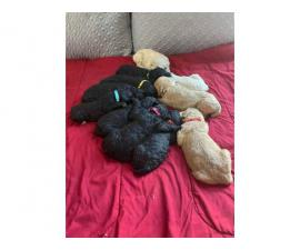 Black and Red Poodle puppies
