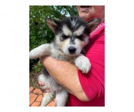 8 Purebred Husky Puppies rehoming