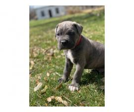6 weeks old Cane Corso for sale
