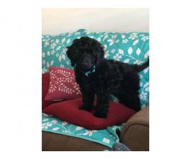 Male Labradoodle puppy looking for  a good home