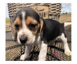 AKC beagle puppies for sale