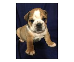 Full AKC English bulldog puppies for Adoption