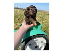 2 longhaired dachshund puppies for sale