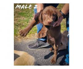 4 Lab Puppies looking for new homes