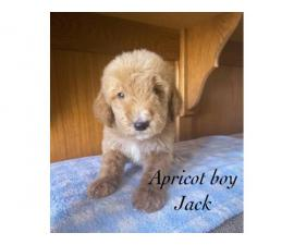 Apricot and red AKC Standard poodle puppies