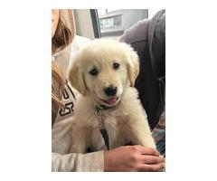 9 weeks old AKC Golden Retriever puppy