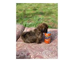 12 weeks old brown male Shihtzu puppy