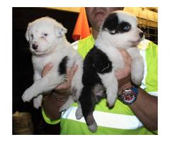 6 standard size Australian shepherds