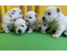 Gorgeous/ Tatta-Sissi Westie Puppies Available Forever home