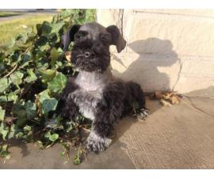2 adorable AKC male mini schnauzer puppies