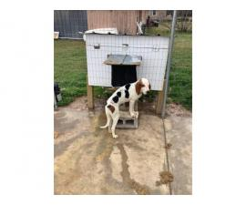 2 Treeing walker coonhound pups available