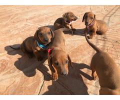 5 beautiful dachshund puppies