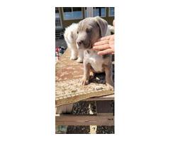 3 months old Labradane puppies