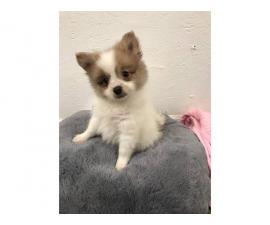 2 male Pomeranian puppies available