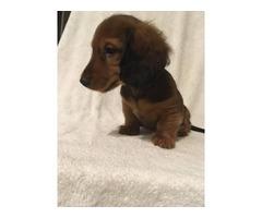 Red Male Mini Dachshund Puppy