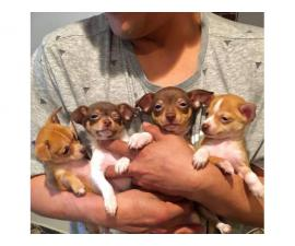 5 Tiny toy Chihuahua Puppies