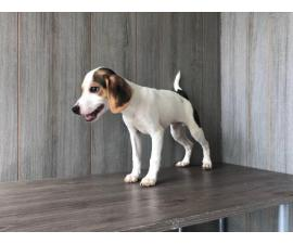 3 Jack Russell Beagle Puppies