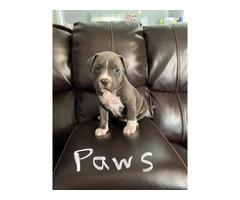 4 adorable female Pitbull puppies