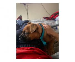 13 weeks old English Bulldog for Sale