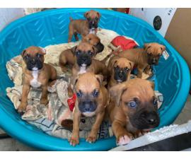 8 Boxer puppies available