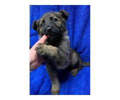 5 females and 2 males German Shepherd puppies